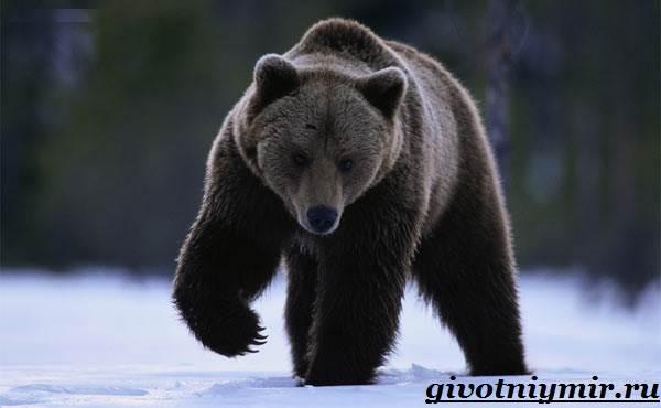 Медведь-гризли- Среда-обитания-и-образ-жизни-медведя-гризли-2