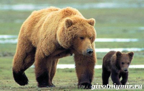 Медведь-гризли-Среда-обитания-и-образ-жизни-медведя-гризли-3