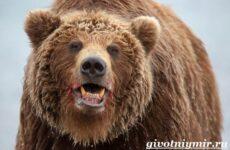 Медведь гризли. Среда обитания и образ жизни медведя гризли