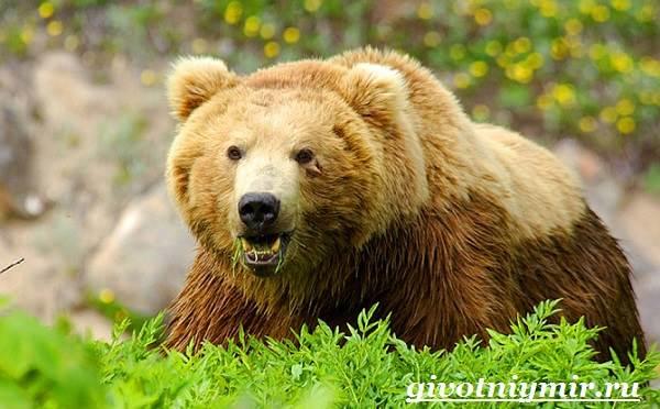 Медведь-гризли-Среда-обитания-и-образ-жизни-медведя-гризли-41