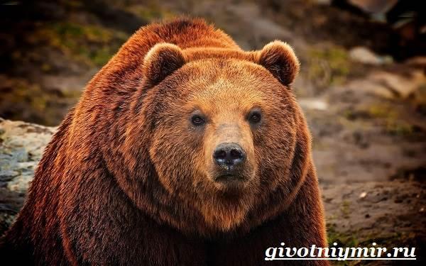 Медведь-гризли-Среда-обитания-и-образ-жизни-медведя-гризли-5