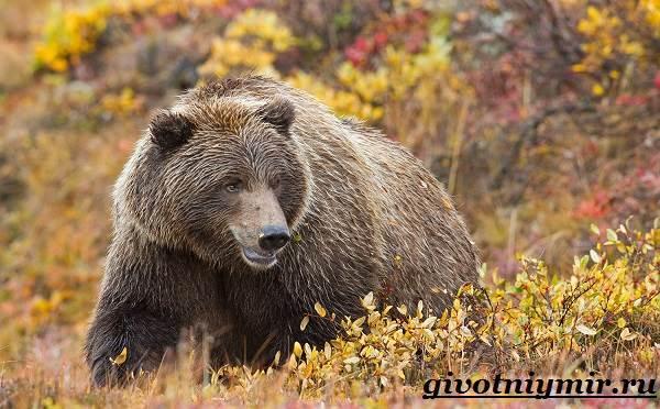 Медведь-гризли-Среда-обитания-и-образ-жизни-медведя-гризли-6