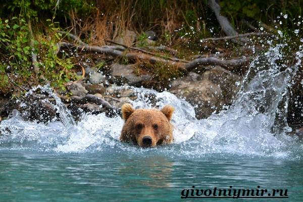 Медведь-гризли-Среда-обитания-и-образ-жизни-медведя-гризли-7