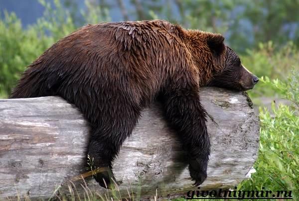 Медведь-гризли-Среда-обитания-и-образ-жизни-медведя-гризли-8