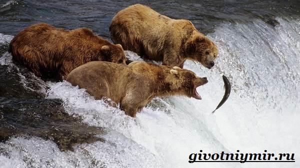 Медведь-гризли-Среда-обитания-и-образ-жизни-медведя-гризли-9