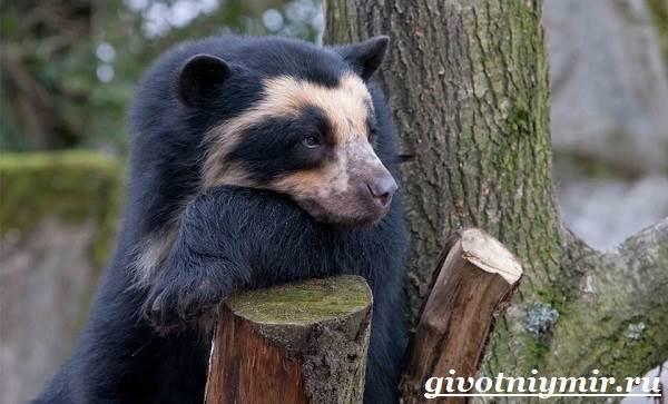 Очковый-медведь-Среда-обитания-и-образ-жизни-очкового-медведя-1