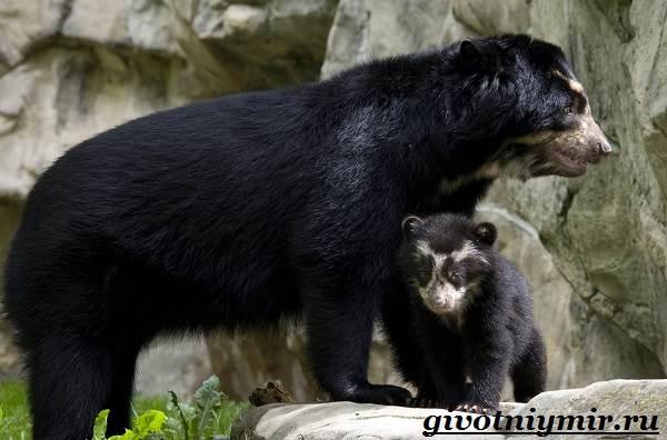 Очковый-медведь-Среда-обитания-и-образ-жизни-очкового-медведя-10