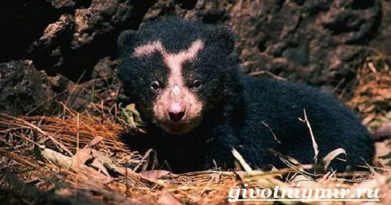 Очковый-медведь-Среда-обитания-и-образ-жизни-очкового-медведя-12