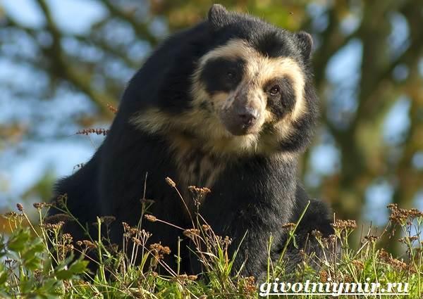 Очковый-медведь-Среда-обитания-и-образ-жизни-очкового-медведя-2