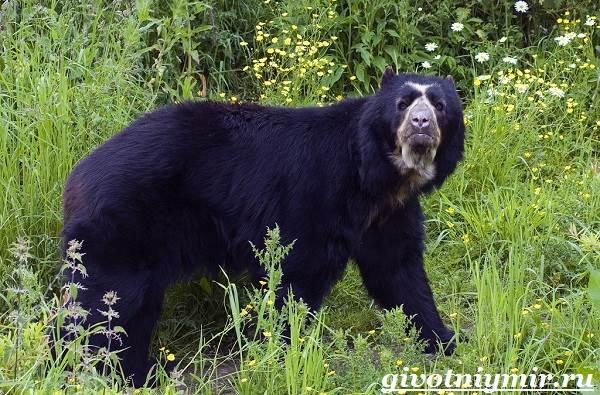 Очковый-медведь-Среда-обитания-и-образ-жизни-очкового-медведя-3