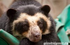 Очковый медведь. Среда обитания и образ жизни очкового медведя