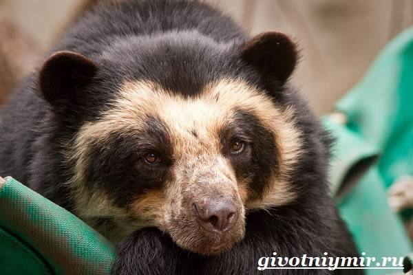 Очковый-медведь-Среда-обитания-и-образ-жизни-очкового-медведя-4