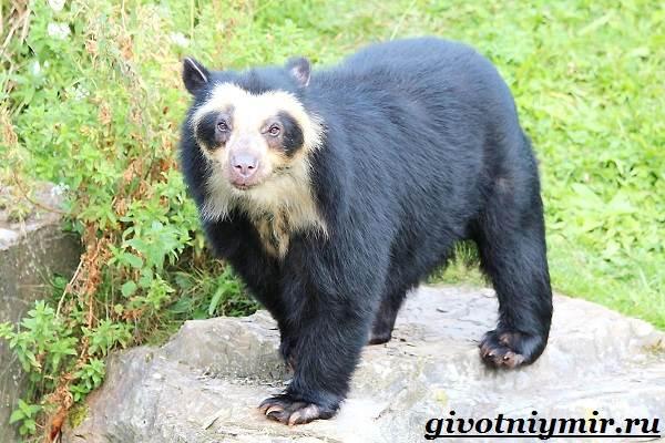 Очковый-медведь-Среда-обитания-и-образ-жизни-очкового-медведя-5