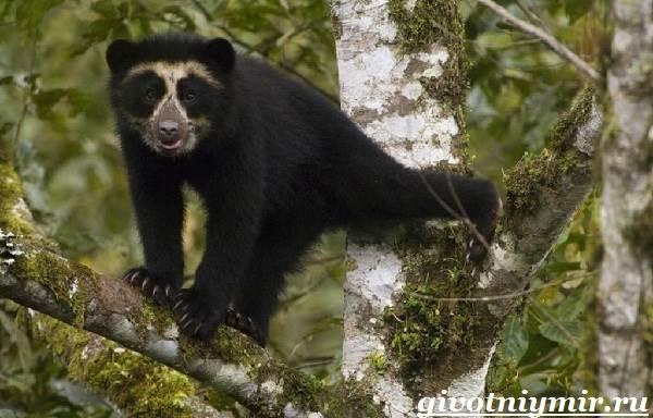 Очковый-медведь-Среда-обитания-и-образ-жизни-очкового-медведя-6