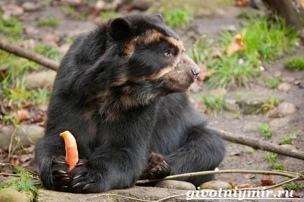 Очковый-медведь-Среда-обитания-и-образ-жизни-очкового-медведя-7