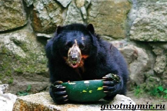 Очковый-медведь-Среда-обитания-и-образ-жизни-очкового-медведя-8