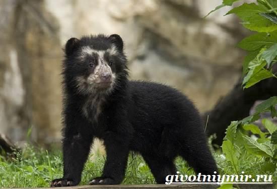 Очковый-медведь-Среда-обитания-и-образ-жизни-очкового-медведя-9