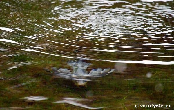 Оляпка-птица-Среда-обитания-и-образ-жизни-оляпки-10