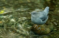 Оляпка птица. Среда обитания и образ жизни оляпки