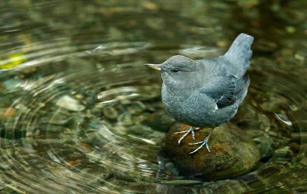 Оляпка-птица-Среда-обитания-и-образ-жизни-оляпки-11