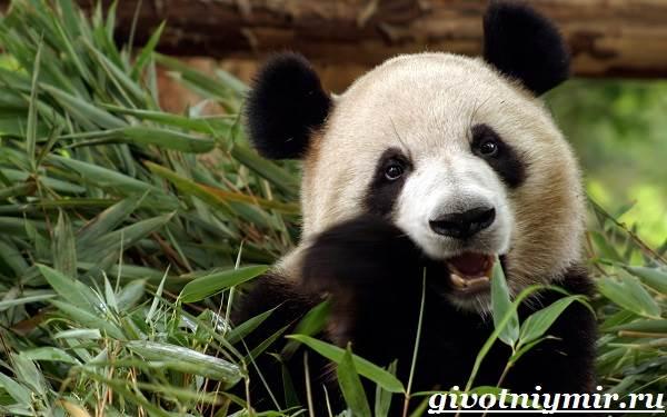 Панда-животное-Образ-жизни-и-среда-обитания-панды-1
