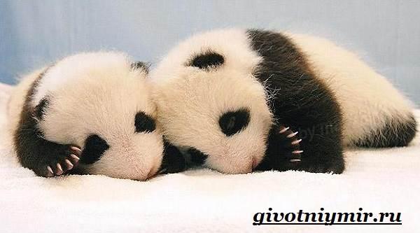 Панда-животное-Образ-жизни-и-среда-обитания-панды-10