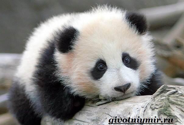 Панда-животное-Образ-жизни-и-среда-обитания-панды-11
