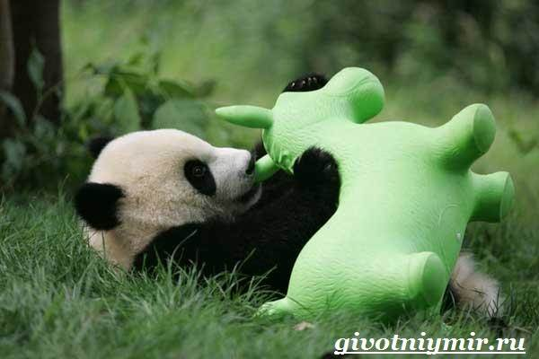 Панда-животное-Образ-жизни-и-среда-обитания-панды-12