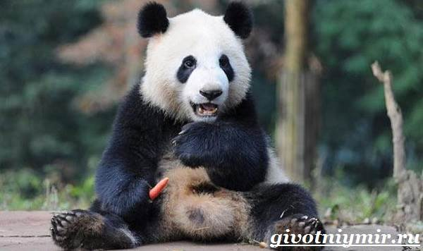 Панда-животное-Образ-жизни-и-среда-обитания-панды-2