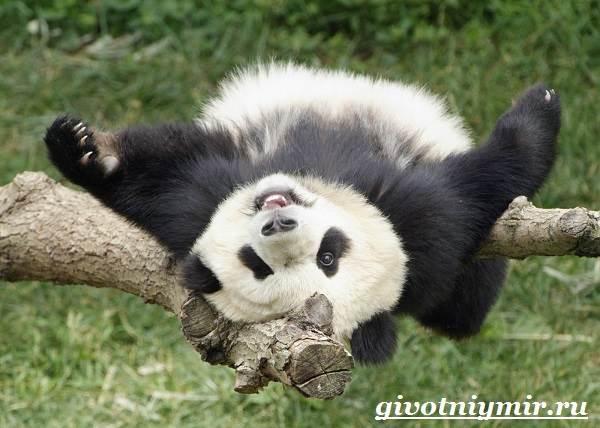 Панда-животное-Образ-жизни-и-среда-обитания-панды-3