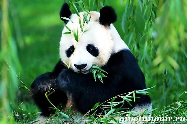Панда-животное-Образ-жизни-и-среда-обитания-панды-4