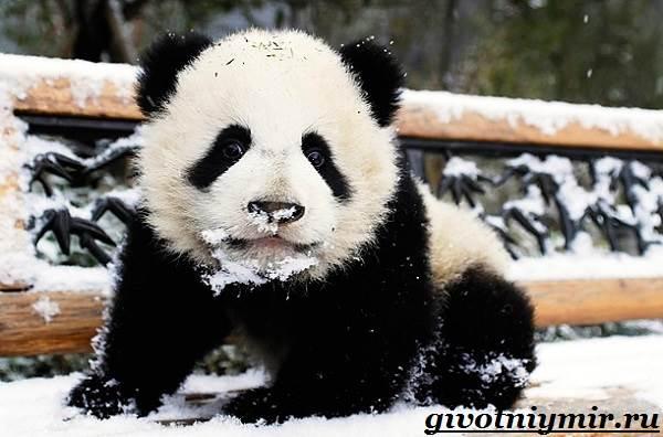 Панда-животное-Образ-жизни-и-среда-обитания-панды-5