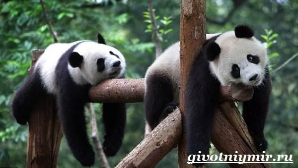 Панда-животное-Образ-жизни-и-среда-обитания-панды-7