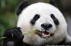 Панда животное. Образ жизни и среда обитания панды