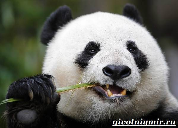 Панда-животное-Образ-жизни-и-среда-обитания-панды-8