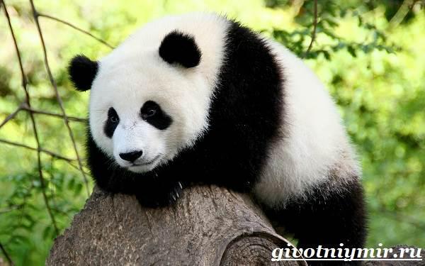 Панда-животное-Образ-жизни-и-среда-обитания-панды-9