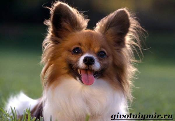 Папильон-собака-Особенности-породы-и-уход-за-папильоном-1