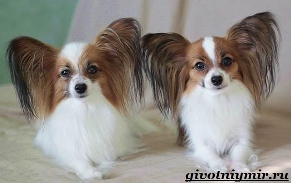 Папильон-собака-Особенности-породы-и-уход-за-папильоном-10