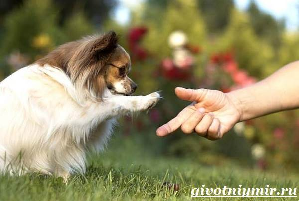 Папильон-собака-Особенности-породы-и-уход-за-папильоном-12
