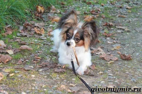 Папильон-собака-Особенности-породы-и-уход-за-папильоном-13