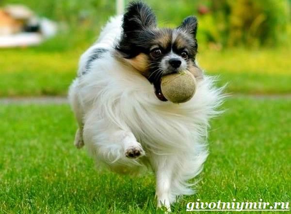Папильон-собака-Особенности-породы-и-уход-за-папильоном-14