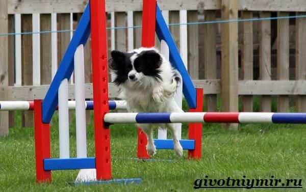 Папильон-собака-Особенности-породы-и-уход-за-папильоном-15