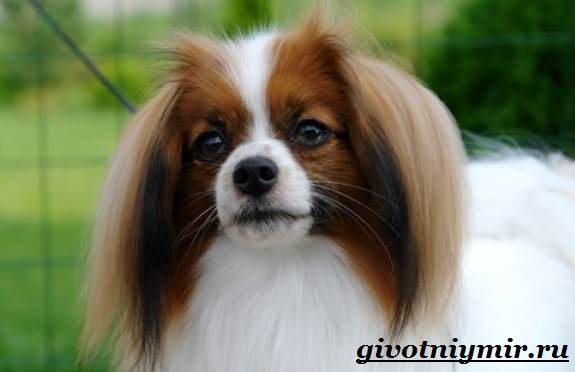 Папильон-собака-Особенности-породы-и-уход-за-папильоном-