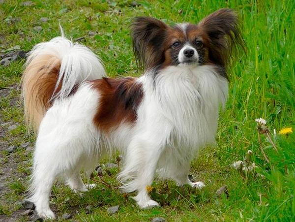 Папильон-собака-Особенности-породы-и-уход-за-папильоном-3