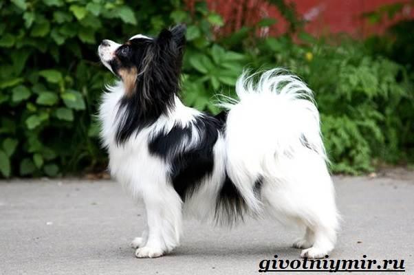 Папильон-собака-Особенности-породы-и-уход-за-папильоном-4