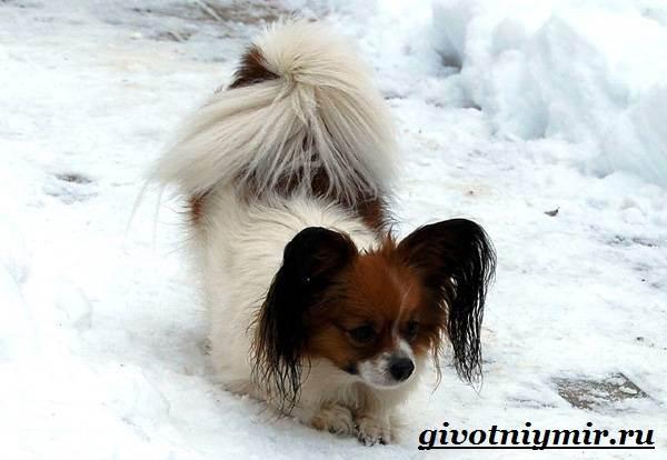 Папильон-собака-Особенности-породы-и-уход-за-папильоном-5