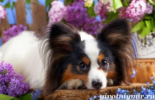 Папильон-собака-Особенности-породы-и-уход-за-папильоном-6-1