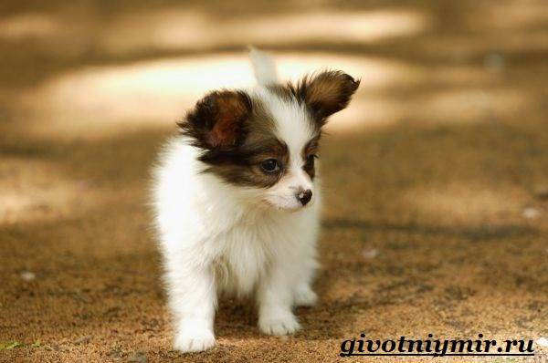 Папильон-собака-Особенности-породы-и-уход-за-папильоном-7