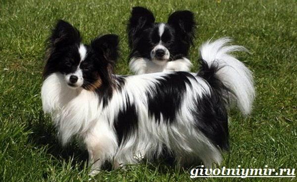 Папильон-собака-Особенности-породы-и-уход-за-папильоном-8