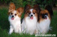 Папильон собака. Особенности породы и уход за папильоном